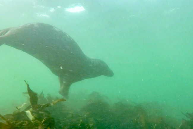 Clapping gray seal - Ben Burville