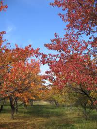 Redtrees.jpg