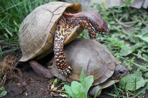Three-toed-box-turtles-mating-300.jpg