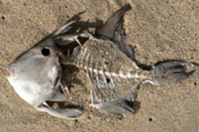 Dead_fish_on_the_beach.jpg