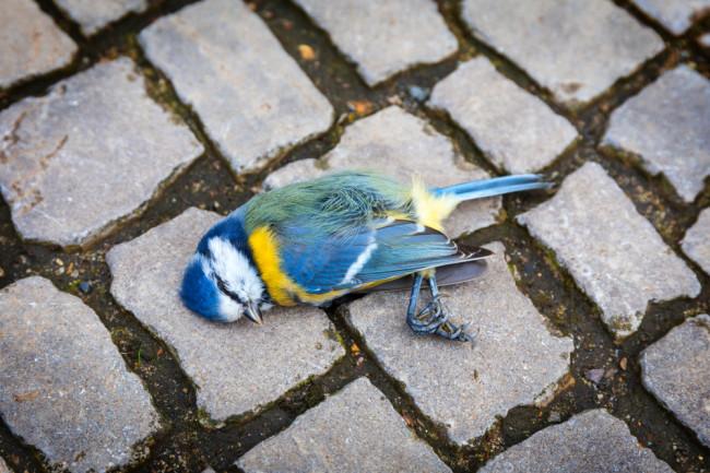 A dead titmouse bird laying in the street. (Credit: pixelklex/Shutterstock)