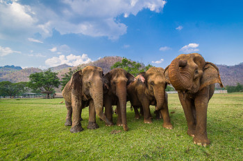 Elephants Now Gang Up In Human-Dominated Areas