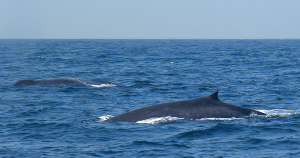 BlueWhale_pair2.jpg
