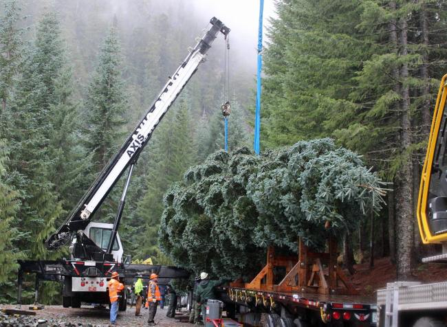 Christmas Tree cutting - USFS