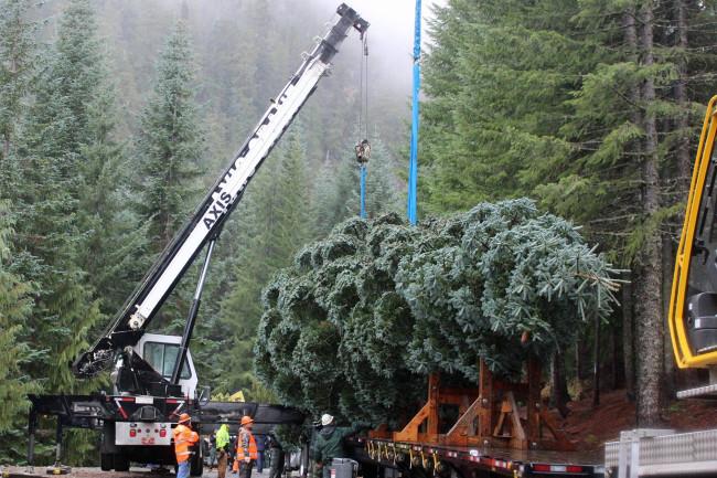Christmas Tree cutting - USFS