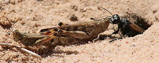 Wasp_locusts.jpg