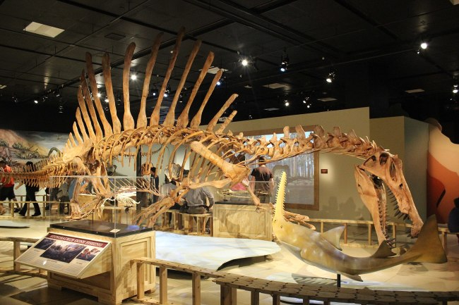 1599px-Spinosaurus Skeleton Cast at the National Geographic Museum