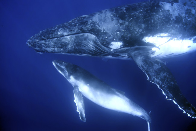 baleen-whales.jpg
