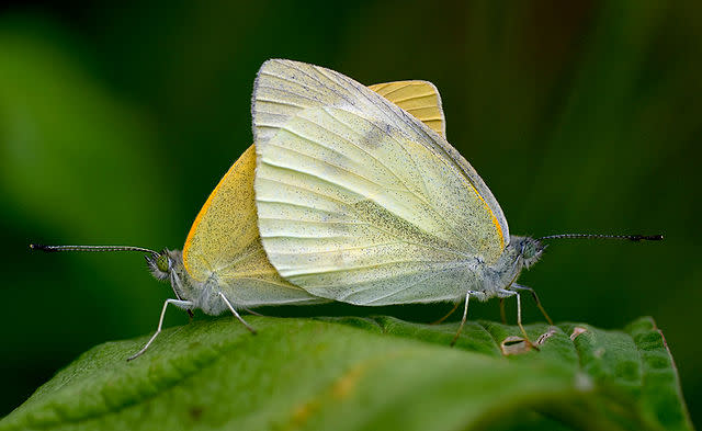640px-Pieris_rapae_which_copulates_0928.jpg