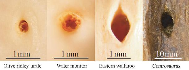 Nutrient_foramina.jpg