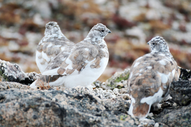 White-tailed ptarmigan - Trevor Fristoe
