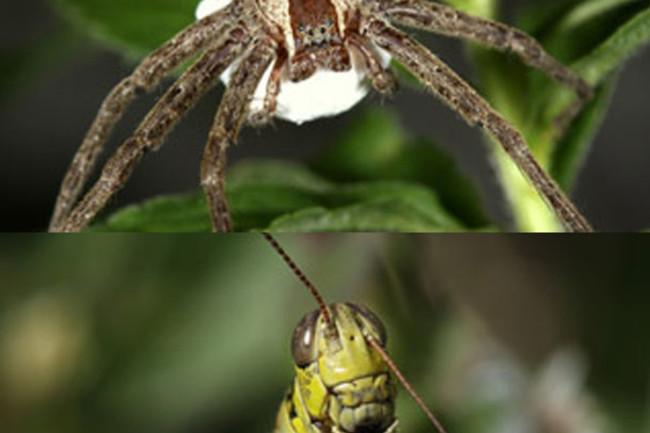 Spider_grasshopper.jpg