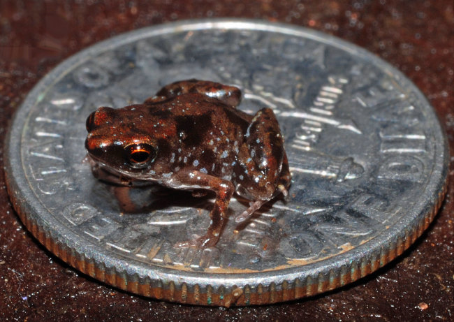 World's Tiniest Frog