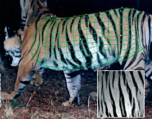 Tigermodel.jpg