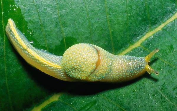 borneo-ninja-slug_19337_600.jpg