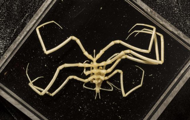 sea-spider-web-Rob-Zugaro-1024x649.png