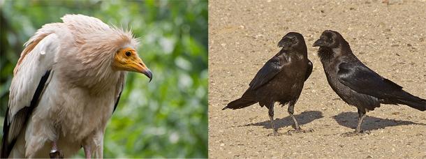 Egyptian_vulture_brown_neck.jpg