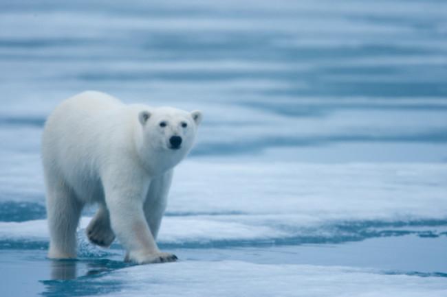PolarBearIS.jpg