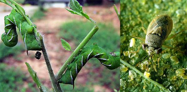 Hornworm_bug.jpg