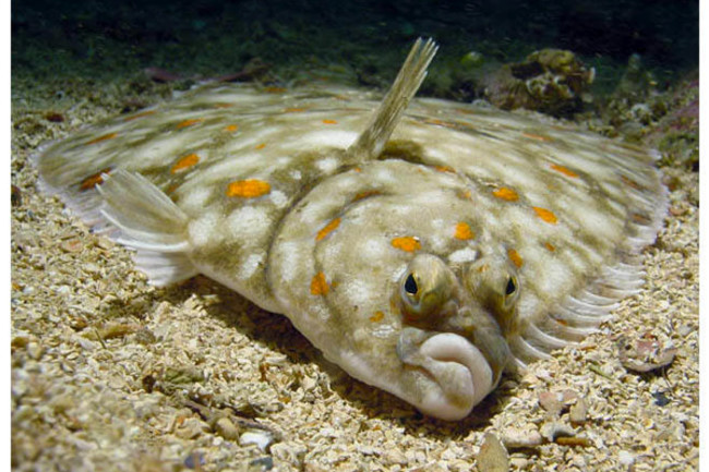 flounder-600.jpg