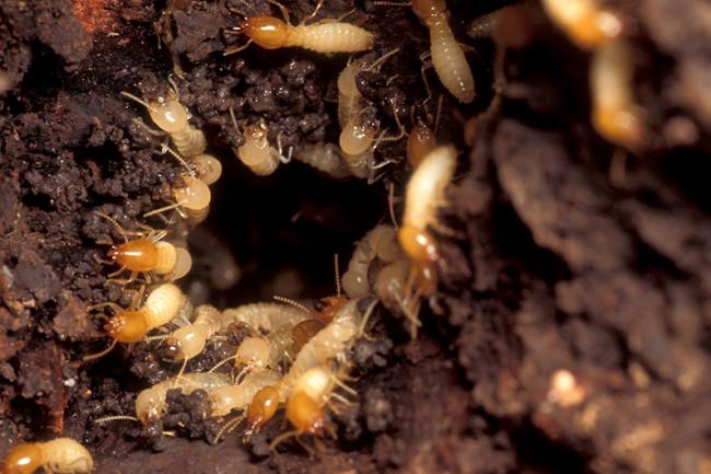 Formosan-Subterranean-Termites