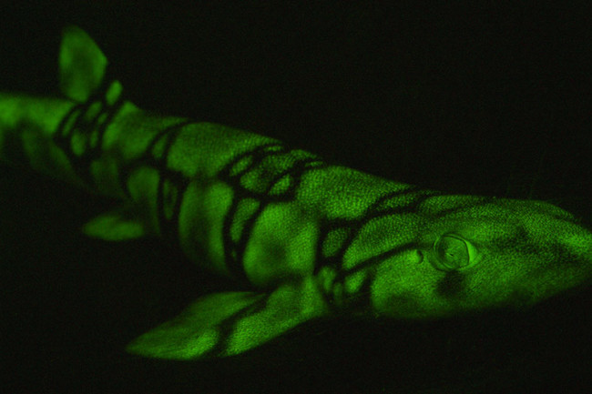 Glowing Green Shark Scyliorhinus retifer - David Gruber