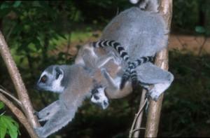 Lemur_mom_scent_marking_2-300x197.jpeg