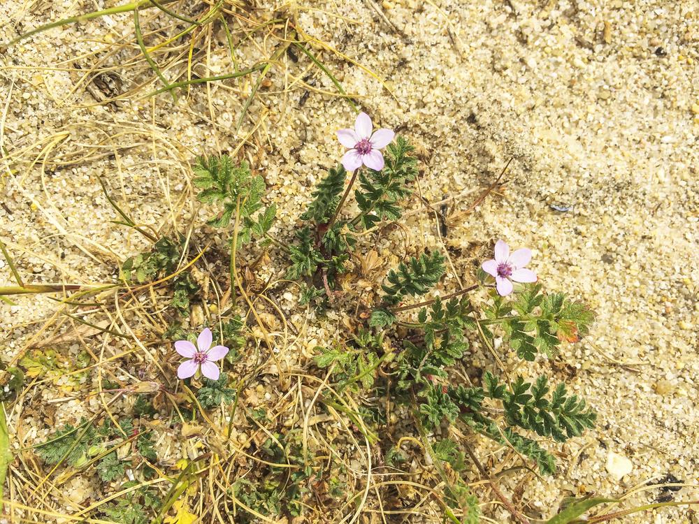 snake-seed-dispersal-Erodium-cicutarium.jpg