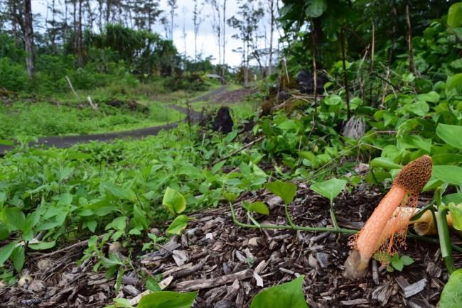 Dictyophora_cinnibarina_Hawaii