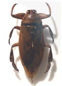 Giantwaterbug.jpg