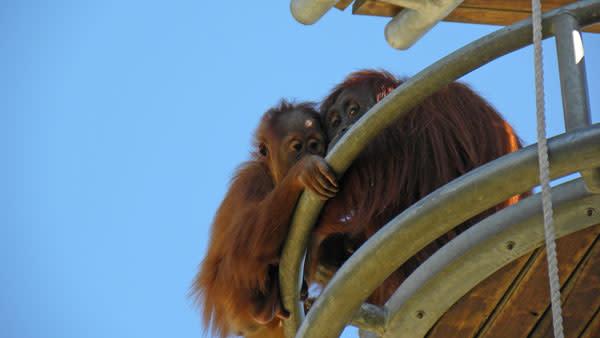 Orangutans_mum_baby_lookout.jpg
