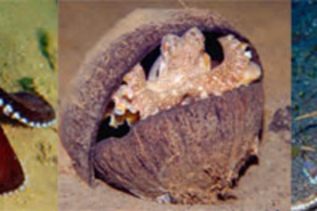 VeinedOctopus_coconut.jpg
