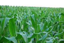 corn220.jpg