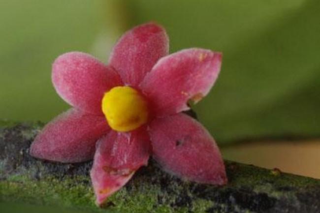 Sirdavidia_solannona_Couvreur__Sauquet_staminate_flower.jpg