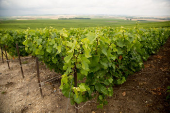 Ancient DNA Study Reveals Deep Roots of Modern Grapevines