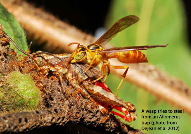 Wasp_Allomerus.jpg