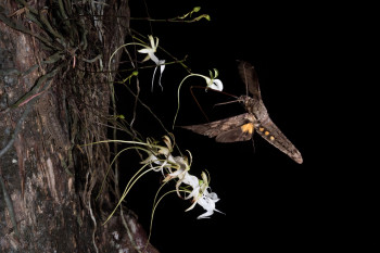 Searching for the Ghost Orchids of the Everglades