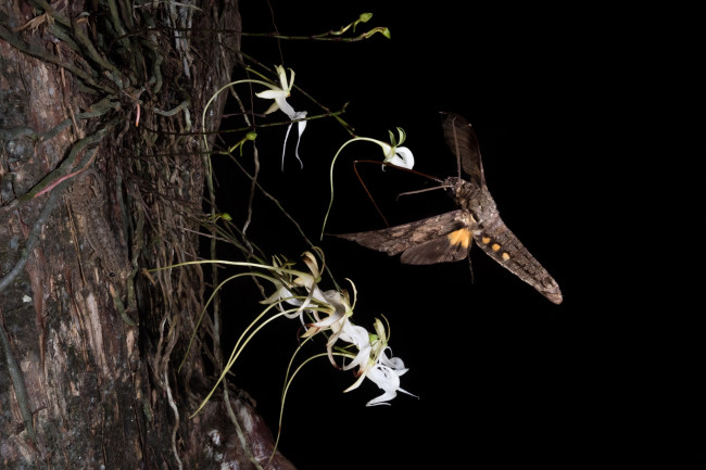 Giant Sphinx Moth Pollinating