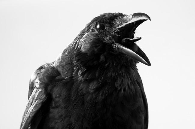 Crow - Shutterstock