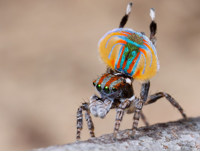 peacock-spider.jpg