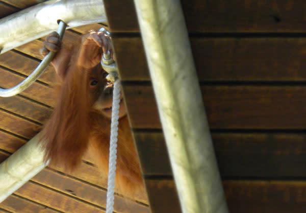 Orangutan_baby_knot.jpg