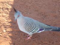 Crested-pigeon.jpg