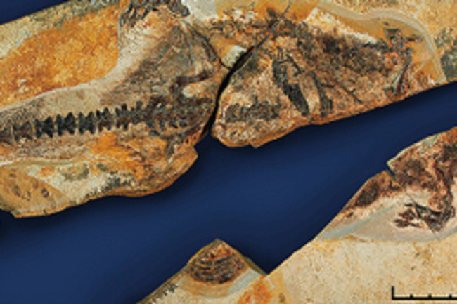 d-fossil.jpg