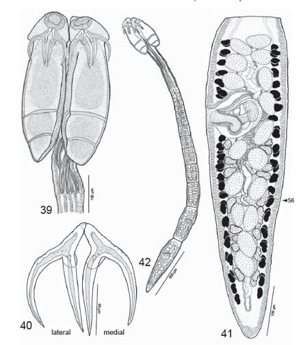 zimmeri-anatomy.jpg
