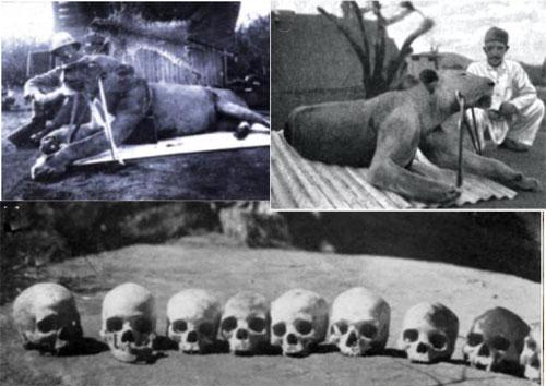 Tsavo lions