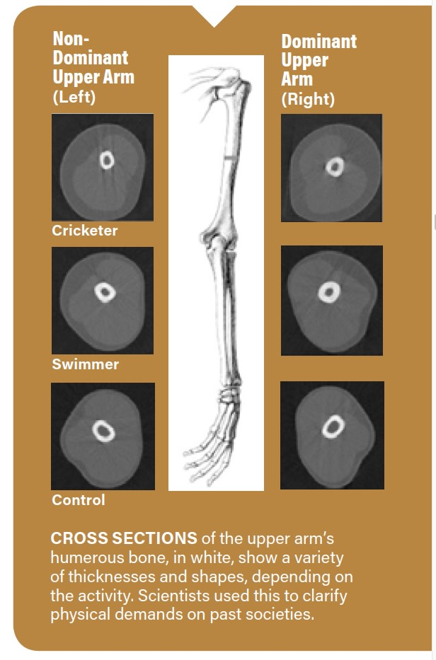 Arm Thickness Infographic - Am J of Phys Anthro