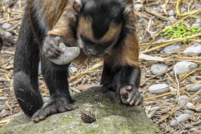 Capuchin Stone Tool - Shutterstock