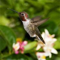 Annas_hummingbird.jpg