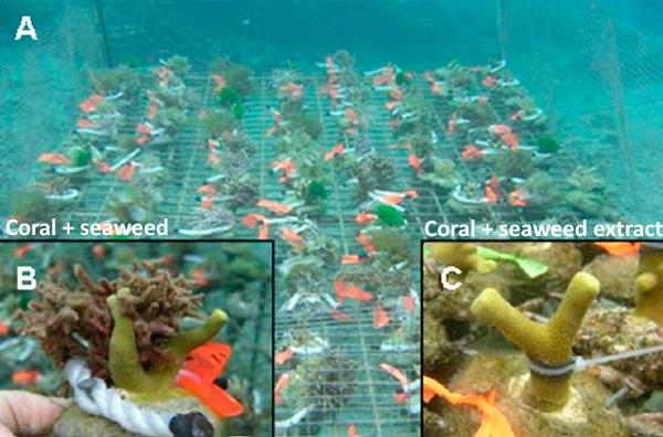 Coral-vs-seaweed.jpg