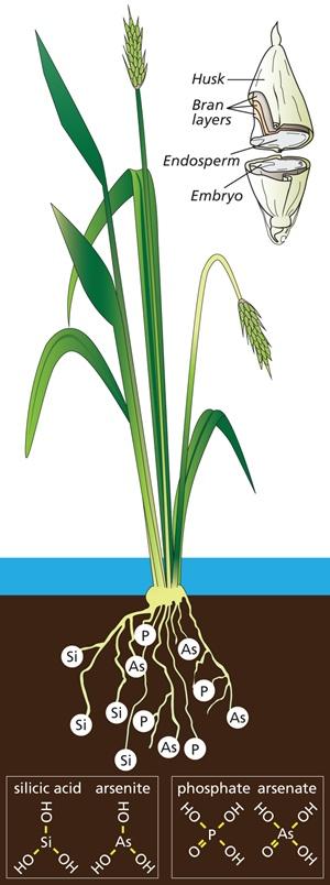 Rice plant diagram